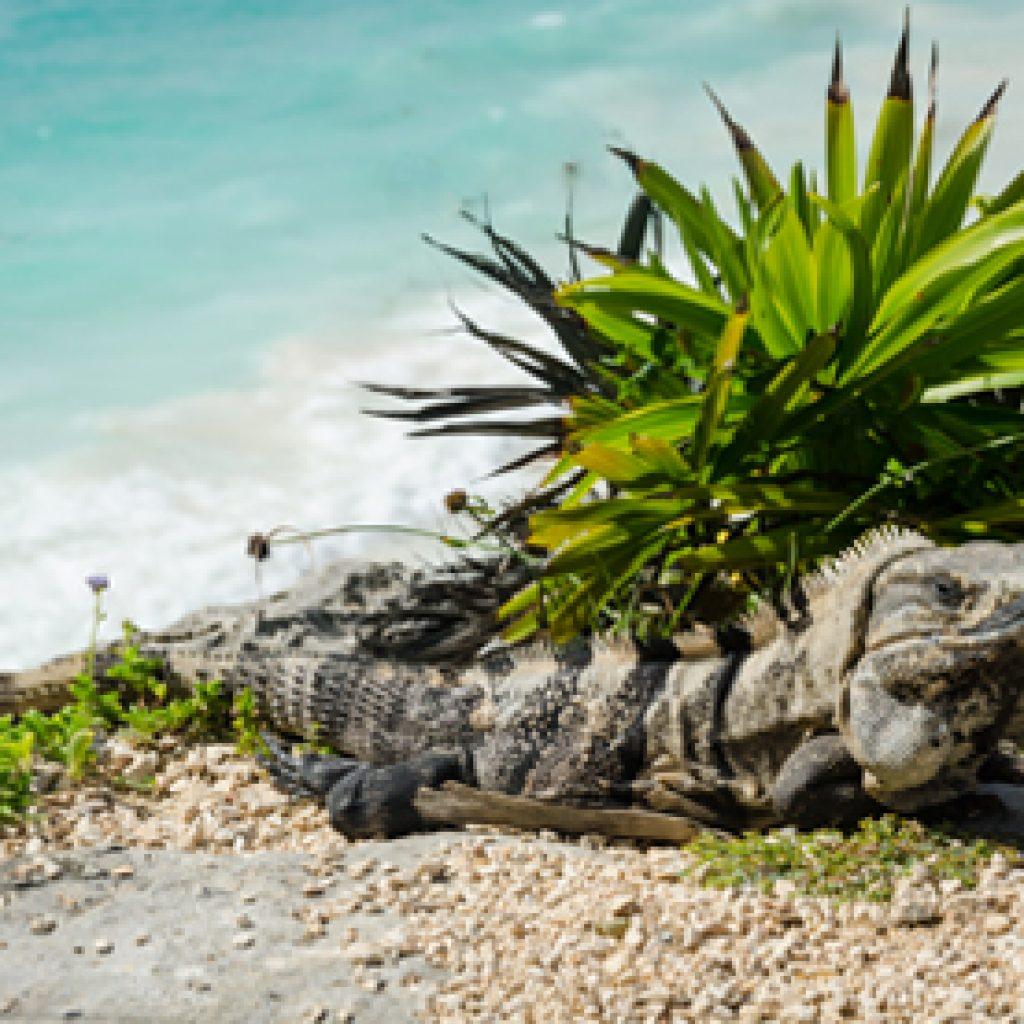 Iguana taking a bath in Baracoa